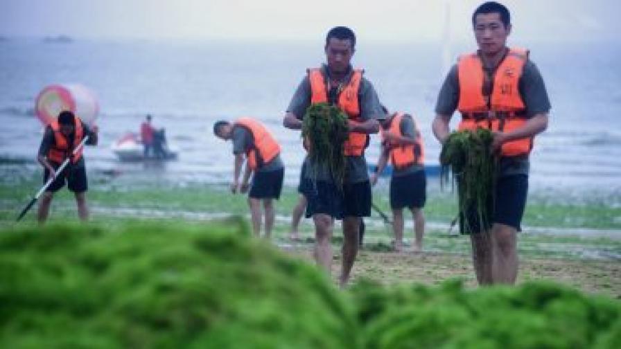 Китайци разчистват огромно количество морски водорасли в източната провинция Шандонг