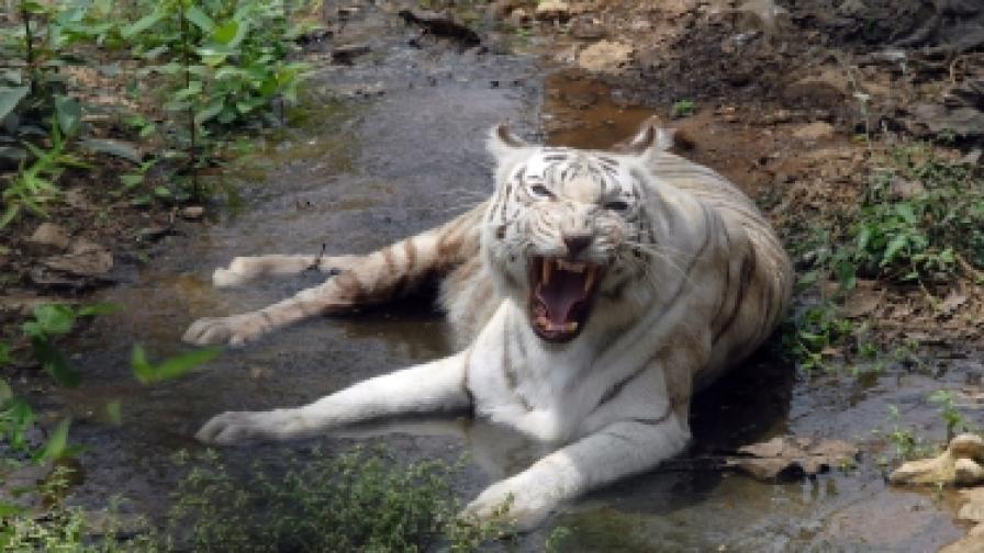 Тигър избяга от зоопарк и нападна трима души