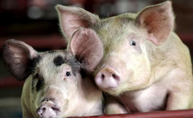 Русия спря вноса на свине и свинско от България