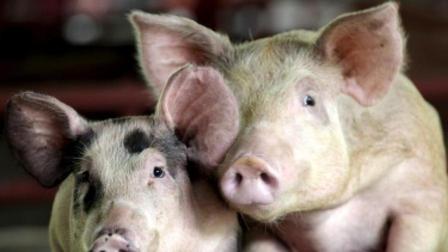 <p>Русия спря вноса на свине и свинско от България</p>