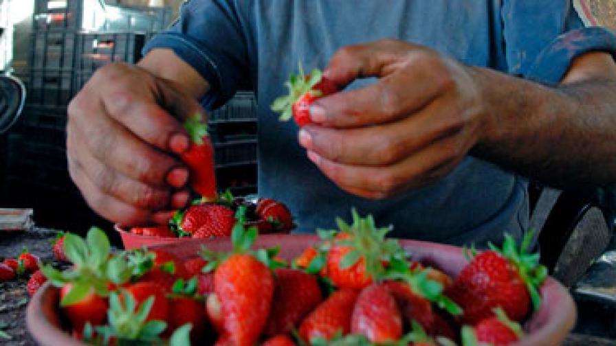 """""""Гардиън"""": На Великобритания й трябват българи за ягодите"""