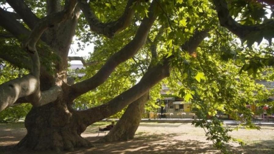 """Орехи и черница от с. Глушник се състезават за """"Европейско дърво на годината 2013"""""""