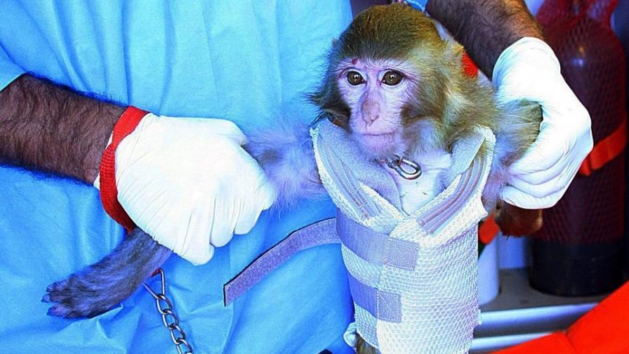 Маймуната, за която иранската държавна телевизия съобщи, че се е върнала жива от полет в Космоса