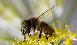 Българската суперхрана е пчелният прашец