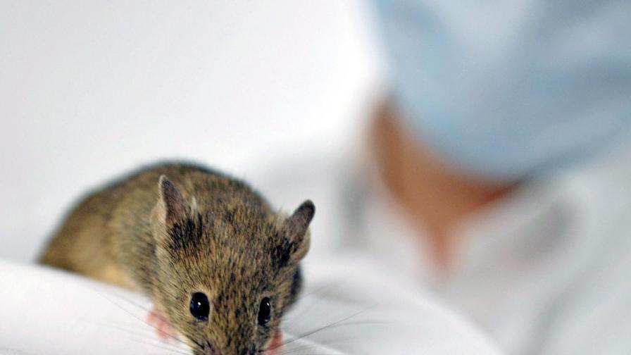 Учени удължиха живота на мишки с 35%