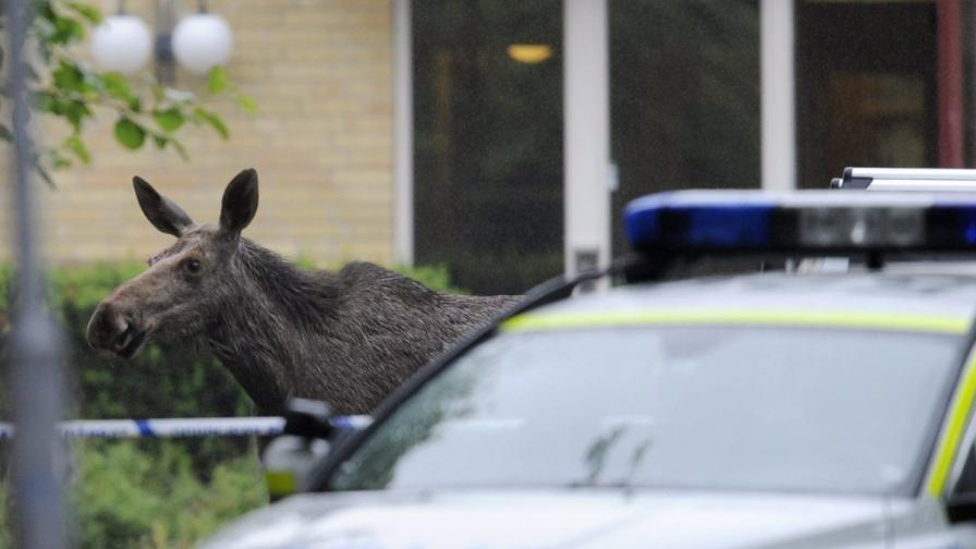 Швеция: Полицията спаси мъж, заплашван от пияни лосове