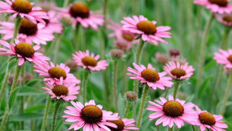 ехинацея билка пурпурно цвете