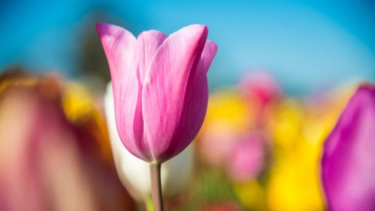лале Холандия фалит градина луковици инфлация цветя