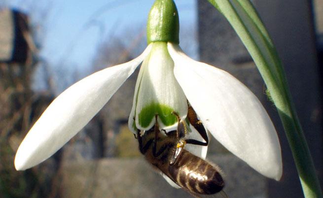 В Казанлък цъфнаха кокичетата, има и първи пчели
