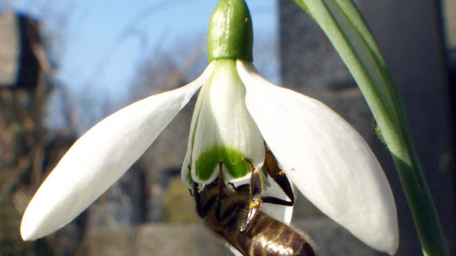 В Казанлък цъфнаха кокичета, има и първи пчели