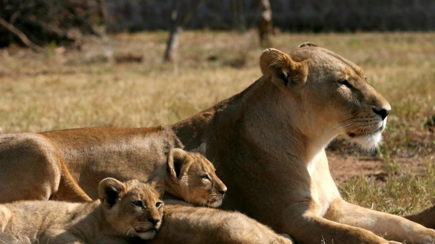 Лъвица отваря вратата на кола в сафари парк